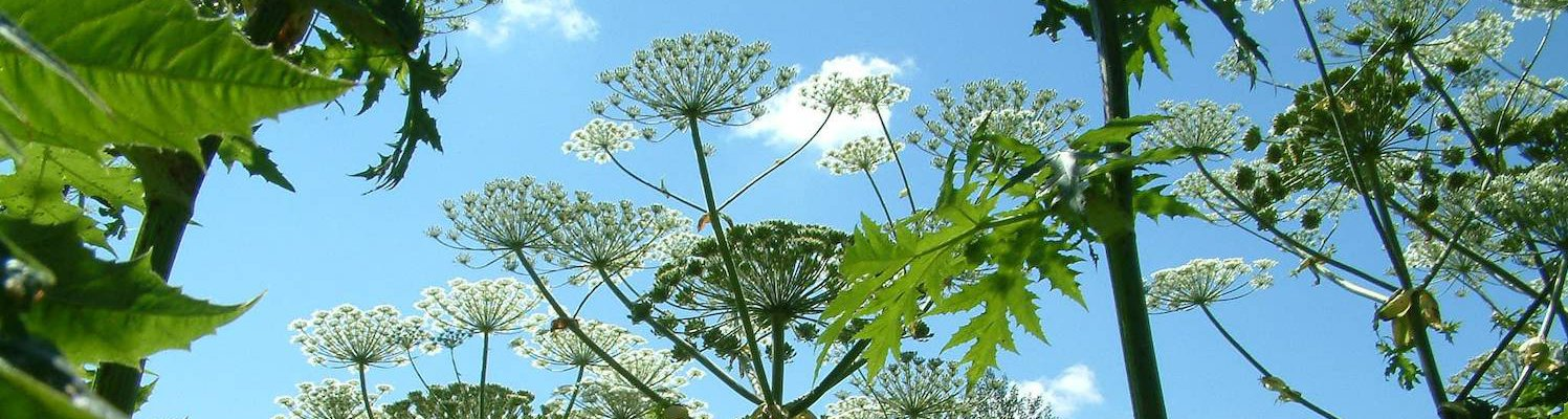 Giant Hogweed, © GB NNSS