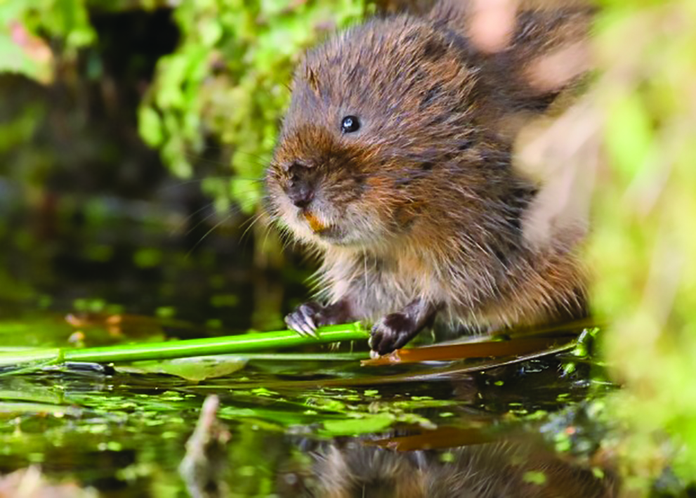 Water vole - Credit Tom Marshall